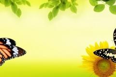 Скинали бабочки на подсолнухе
