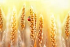 Скинали созревшая пшеница и божья коровка