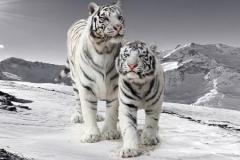 Скинали белые тигры в горах