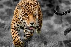 Скинали ягуары
